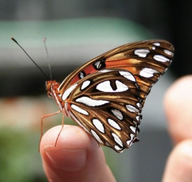 A Dark Butterfly