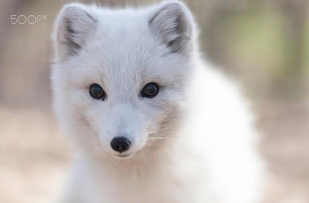 Curious artic fox