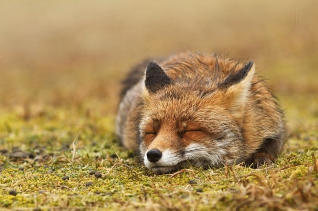 Red fox, probably dreaming of uncount...