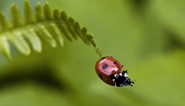 Ladybug II