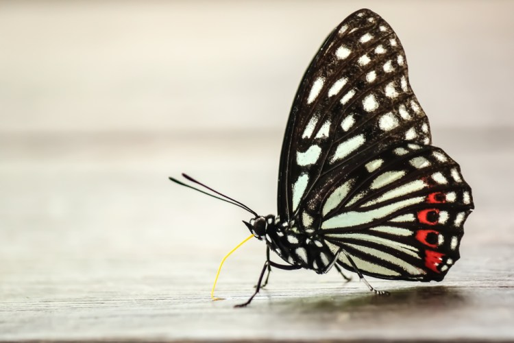 black colour butterfly