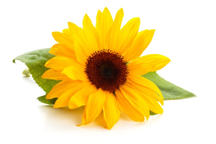 Sunflower with leaves isolated on white background