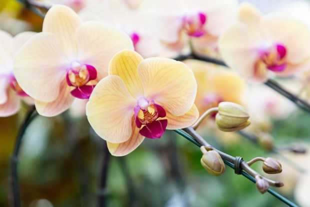 Beautiful orchid flower blooming at spring season