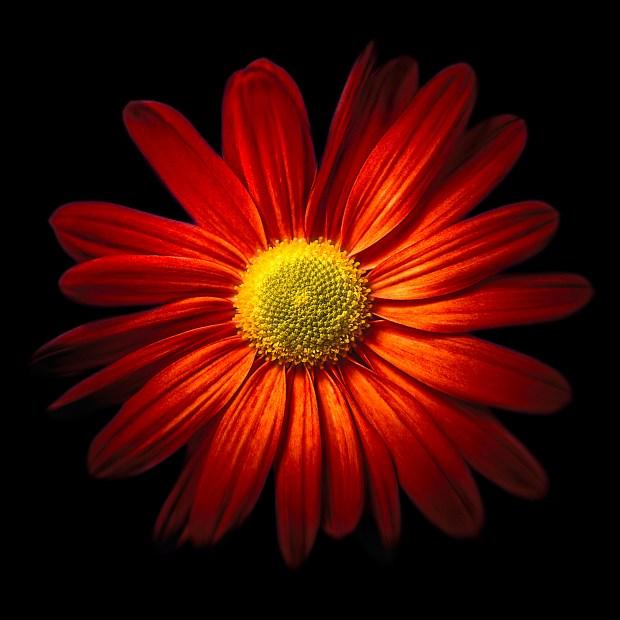Red Chrysantheme