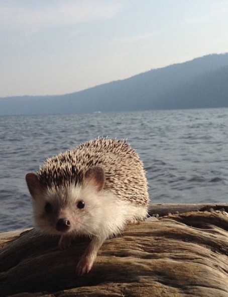 Picture Of Hedgehogs 7