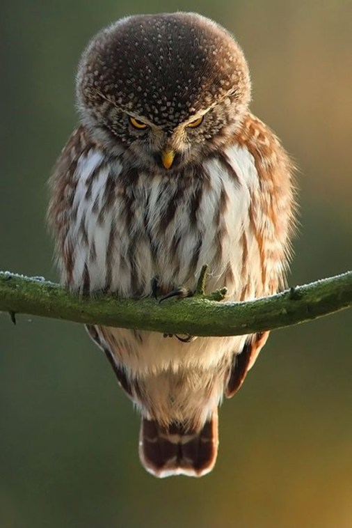 owl-pictures-8