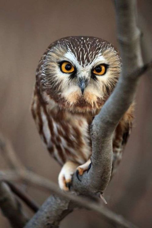 owl pictures4