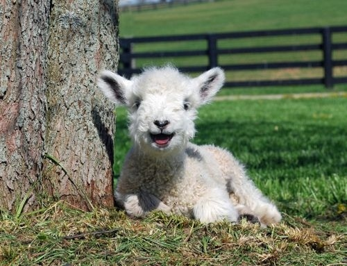 sheep pictures 2