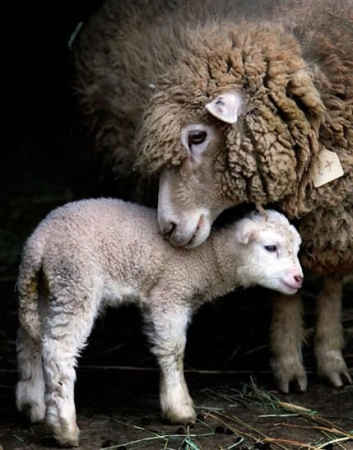sheep pictures5