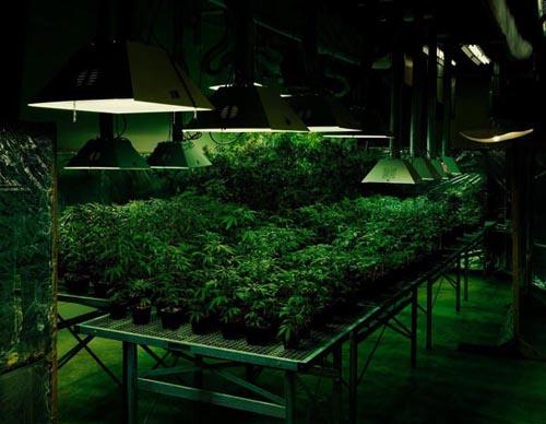 tarynsimon_cannabis_500.jpg