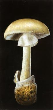 Dutch.Touch.mushroom.jpg