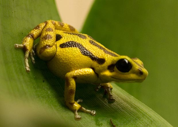 Ostrand_hybrid_frog.jpg