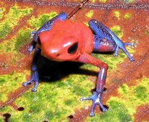 Pumilio_frog.jpg