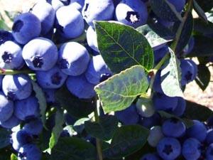 Stahlbush_blueberrybranch.jpg