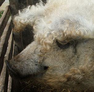Sheep-Pig3.jpg