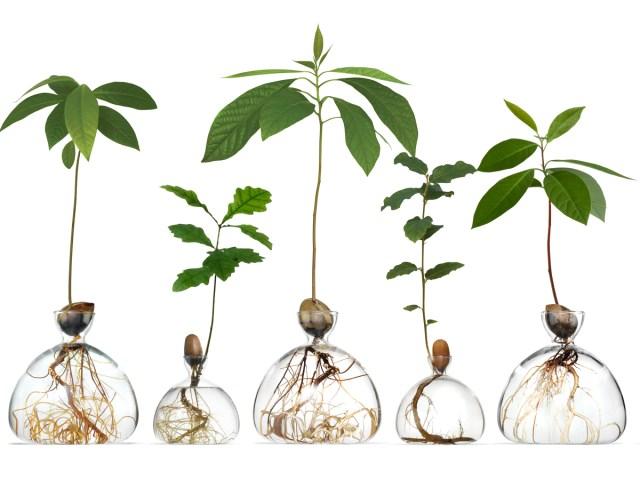 Ilex Studio's Root-Magnifying Avocado Vase