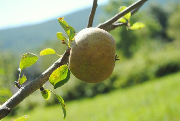 aaron-burr-cider-apple.jpg
