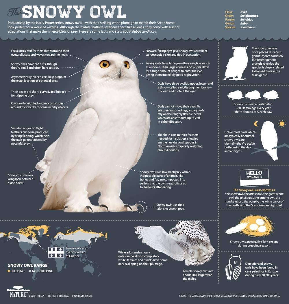 Infographic over wat een sneeuwuil kan doen