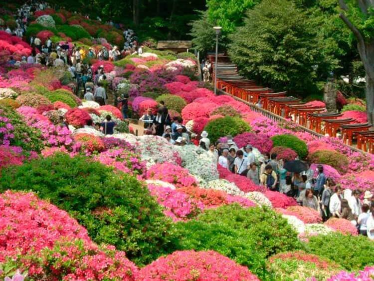 El santuario Nezu es conocido por la belleza de las azaleas