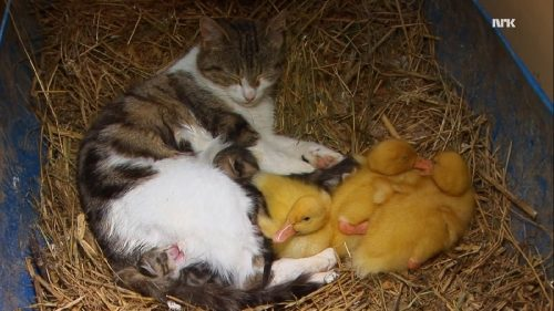 cat_ducks2