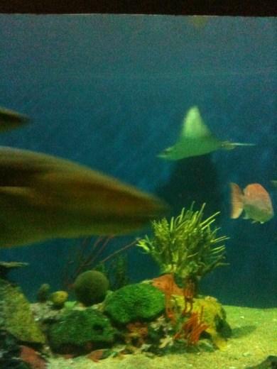 Tiburón gata y raya