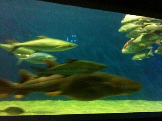Peces siguiendo a tiburón