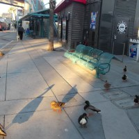 A flock of friendly ducks waiting for a bus!