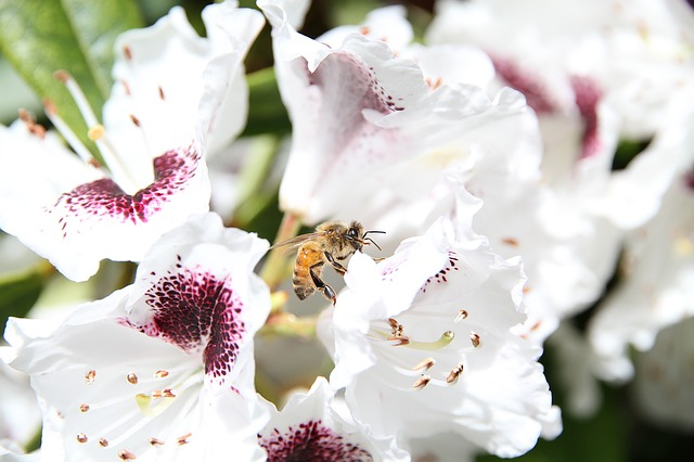 bee on a white flower with pink