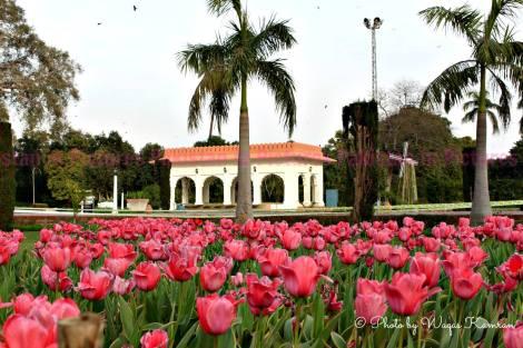 tulips in lahore (3)