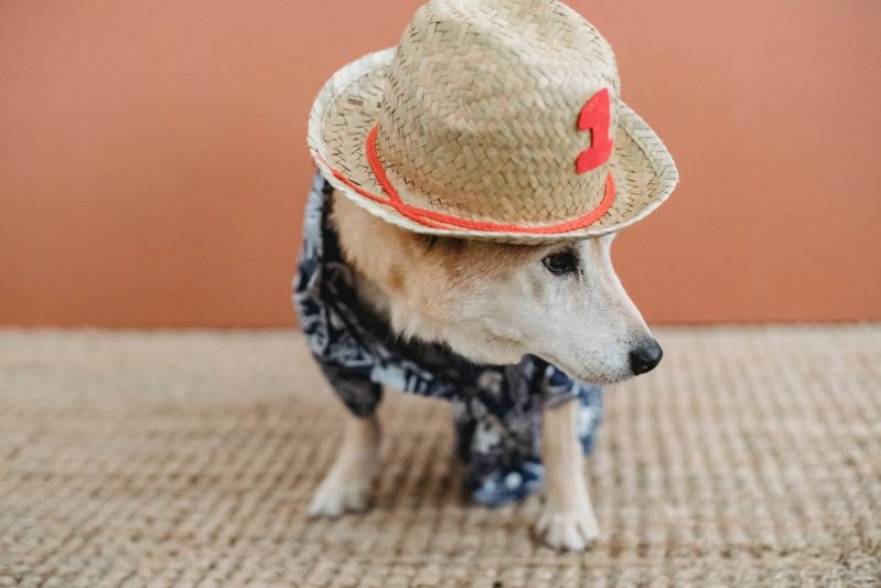 dog in summer clothes