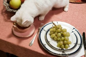 feline close to eating grapes which are one of the most toxic foods for cats