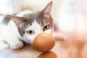 cat eating egg