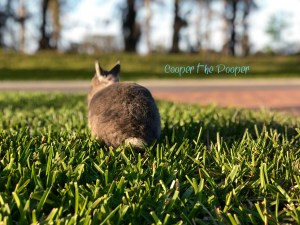 CCooper the Pooper - Grey Netherland Dwarf Rabbit - Sitting in grass