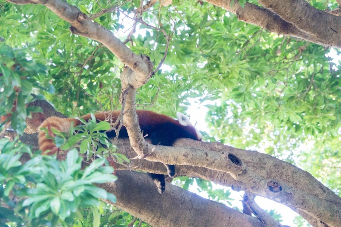バナナワニ園レッサーパンダ