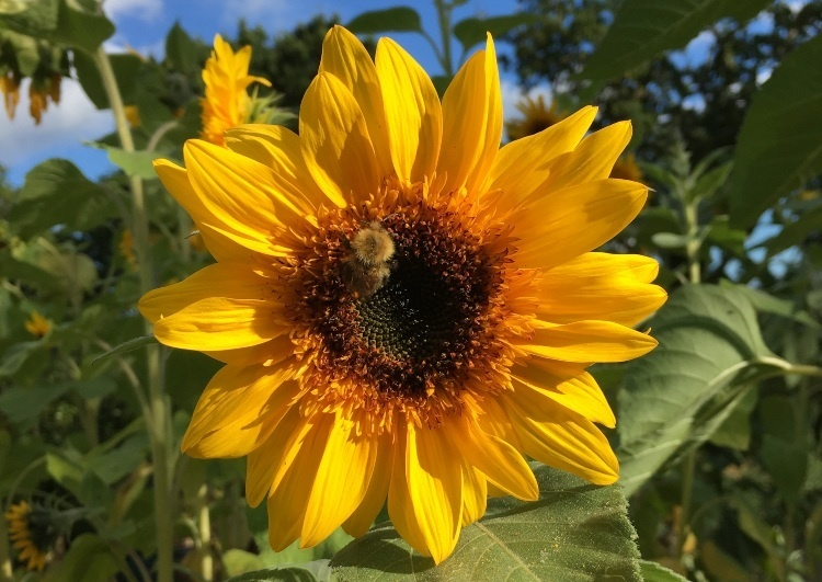 a large sunflower with a bee just off centre of the middle