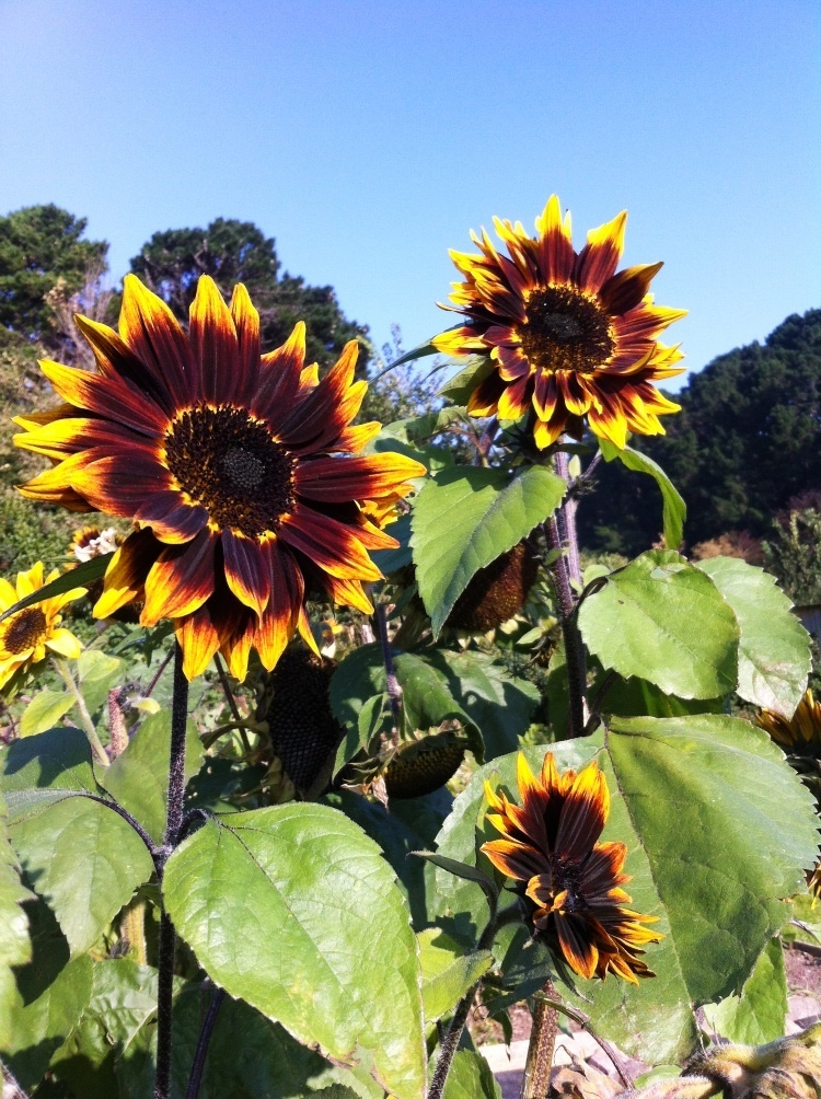 large sunflowers with brown middles, and petals that are black and tinged with the traditional yellow of a sunflower
