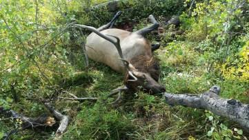 One Elk down
