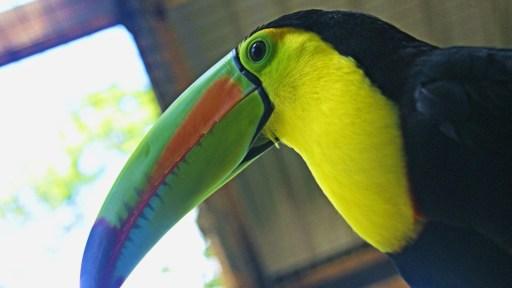 Macaw Mountain Tucan