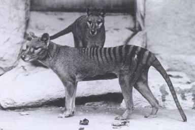 ctv-lme-thylacinus