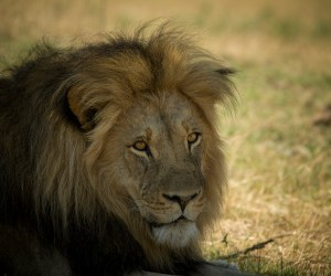 Lions In India: Gir National Park, Lions Paradise