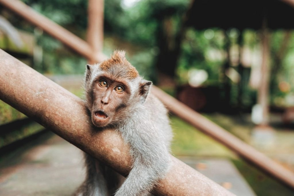 Photo of a monkey. It does not belong here.