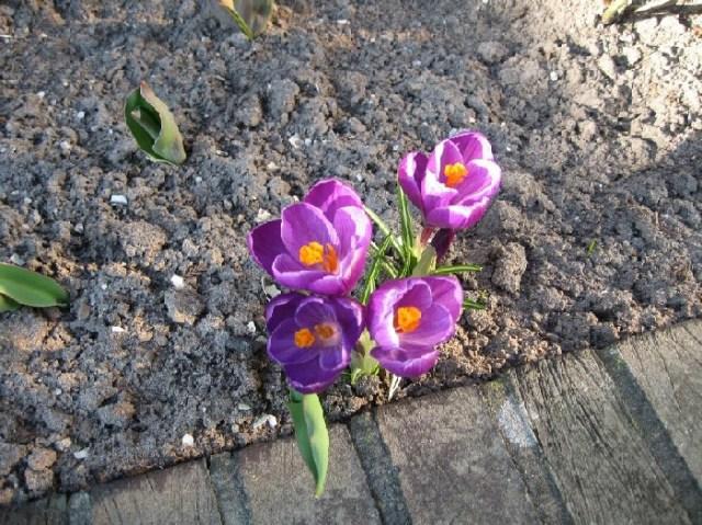 Crocus Blossoms