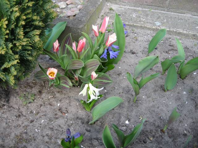 Tulips and Hyacinths