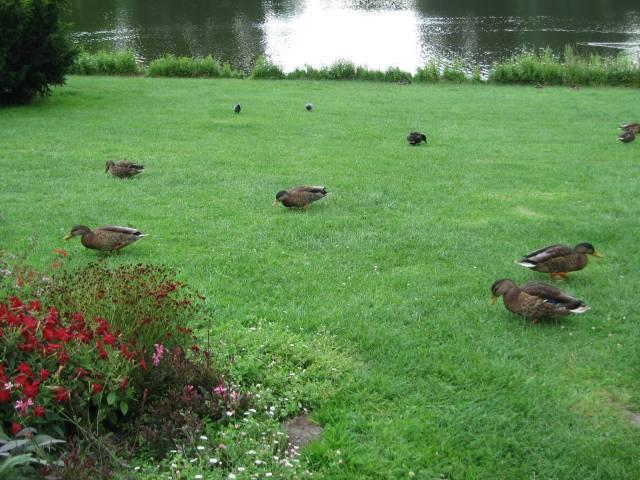 Ducks Maschteich