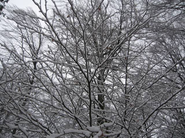 Snow frosted branches