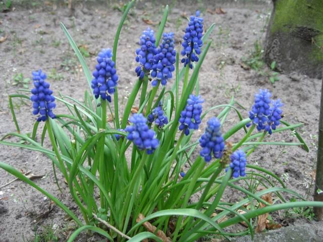Pearl hyacinths
