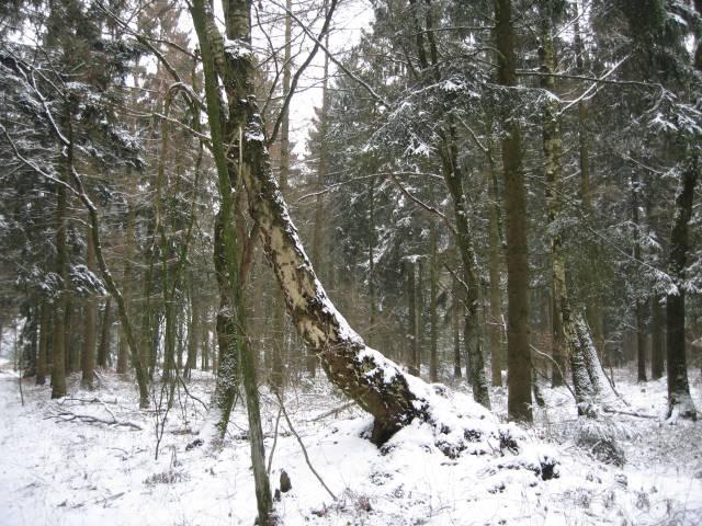 Bent birch tree