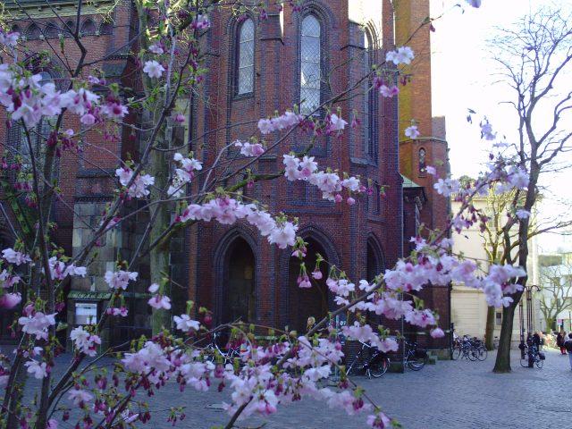 Oldenburg cherry blossoms