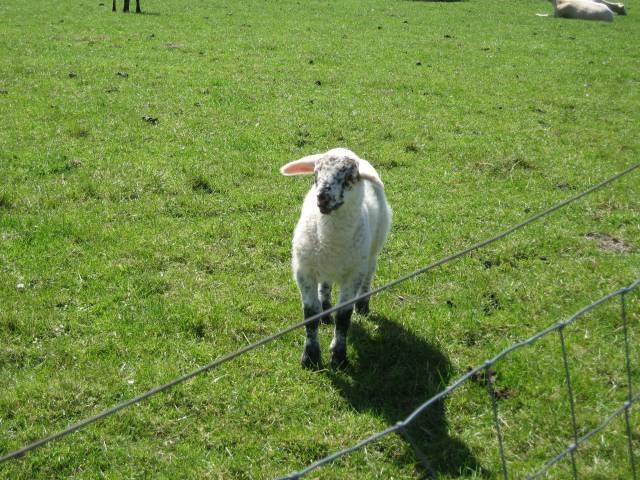 East Frisia lamb