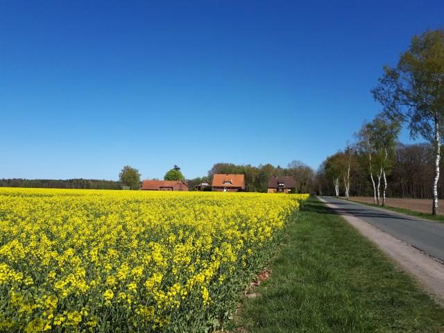 Rapeseed field in bloom near Dünsen